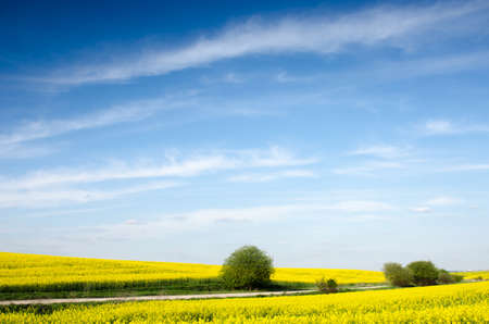 charming magical beautiful summer landscape with bush-balls in the middle of a rape field 版權商用圖片