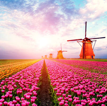 Beautiful magical spring landscape with a tulip field and windmills in the background of a cloudy sky in Holland at sunset. Charming places.