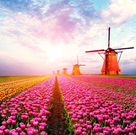 Schöne magische Frühlingslandschaft mit Tulpenfeld und Windmühlen im Hintergrund eines bewölkten Himmels in Holland bei Sonnenuntergang. Charmante Orte. Standard-Bild