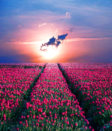 Fairytale mystical stunning magical spring landscape with tulip half a mile on the background of a cloudy sky at sunrise in Holland. Charming places. Stockfoto