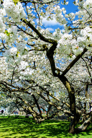 Beautiful spring landscape with white flower of fruit trees.
