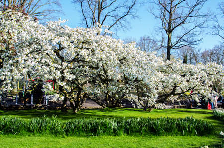 Beautiful spring landscape with white flowering fruit trees in the royal flower garden in Keikencoffi, Netherlands.