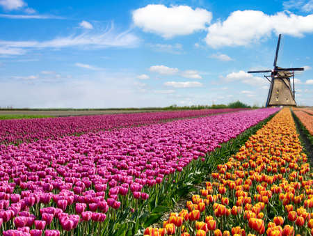 Beau paysage de printemps magique avec un champ de tulipes et des moulins à vent en arrière-plan d'un ciel nuageux en Hollande. Des lieux de charme.