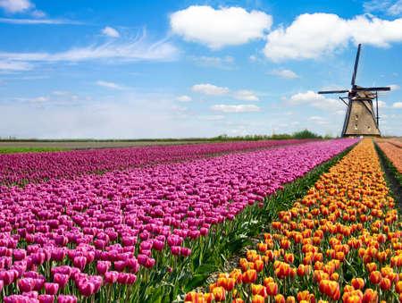 Piękny magiczny wiosenny krajobraz z polem tulipanów i wiatrakami na tle pochmurnego nieba w Holandii. Urocze miejsca.