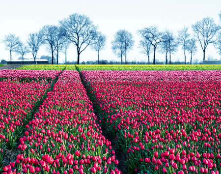 fabulous mystical stunning magical spring landscape with a tulip field on the background of a row of trees in Holland. Charming places.
