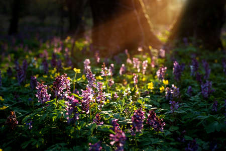 Mystical mesmerizing charming spring landscape with Corydalis flowers in the light of the rays between two tree trunks. Standard-Bild