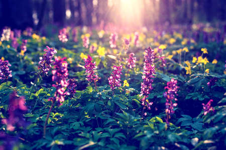 Mystical optimistic charming spring landscape with Corydalis flowers in the light of the rays at sunrise in a forest. Vintage style.