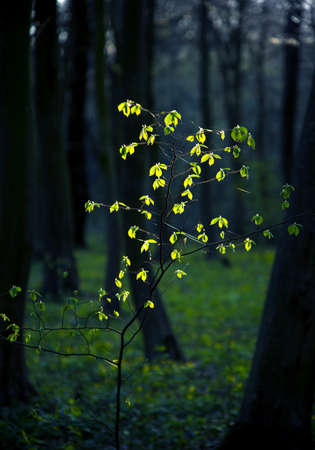 Mystical charming spring landscape with leaves of a young bush, backlit by the sunshine in a dark forest Standard-Bild