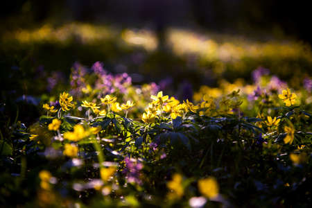 mystical charming charming spring landscape with yellow anemone flowers backlit by sunlight in dark forest