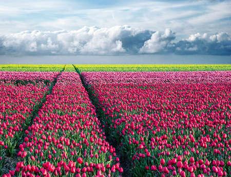 fabelhafte atemberaubende magische Frühlingslandschaft mit einem Tulpenfeld auf dem Hintergrund eines bewölkten Himmels und einer Straße zum Horizont in Holland. Charmante Orte.