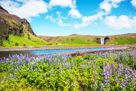 Magical majestic dramatic scenic landscape with lupine flowers on background of waterfall Skogafoss in Iceland. Exotic countries. Amazing places.