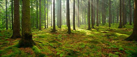 Las drzewa świerkowego, promienie słoneczne przez mgłę oświetlają mchy i paprocie pokryte lasem, tworząc mistyczną atmosferę