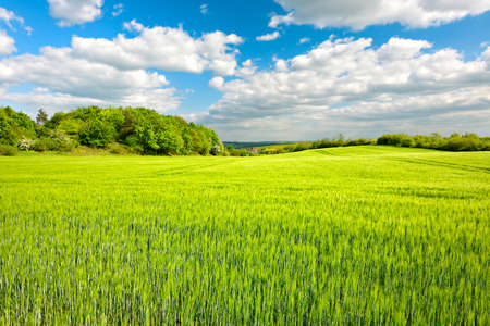 Fresh Green Field of Barley, Spring Landscape under Blue Sky with Clouds Stock Photo