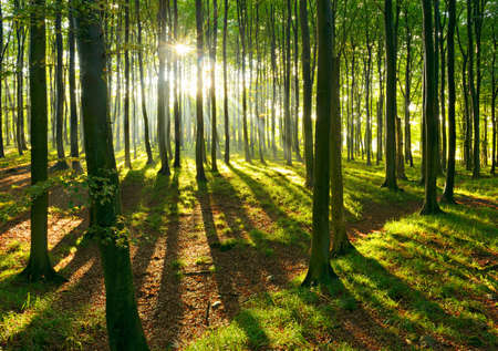 Natural Beech Tree Forest of illuminated by the Sunbeams after Summer Rain