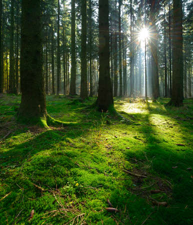 Forest of Spruce Trees Illuminated by Sunbeams through Fog, Moss Covered Forest Floor