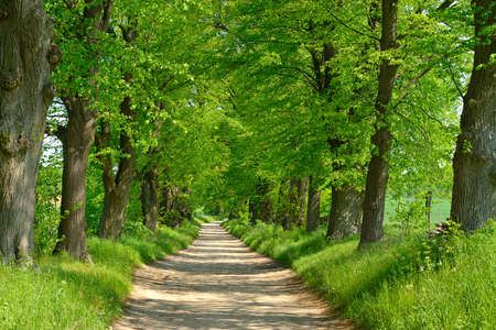 Avenue of Linden Trees, Tree Lined Road through Spring Landscape