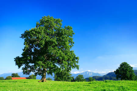 Mighty Oak Tree in Green Field under Blue Sky, Bavarian Alps behind Stock Photo