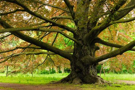 Machtige koperen beukenboom Stockfoto