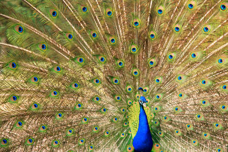 Male indian peacock on display