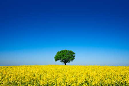 Mighty Oak Tree in Field of Rapeseed, Spring Landscape under Blue Sky Stock Photo