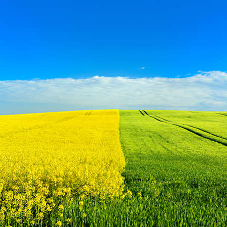 Field of Rapeseed and Barley, Spring Landscape under Blue Sky Stock Photo