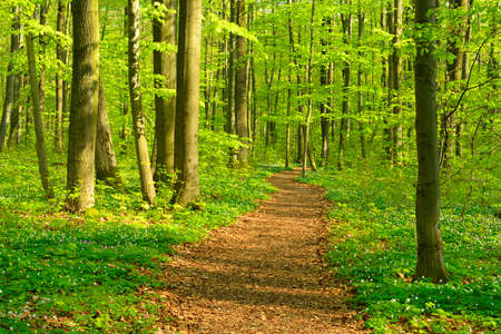 Hiking Path through Sunny Deciduous Forest of Beech, Oak and Maple Trees