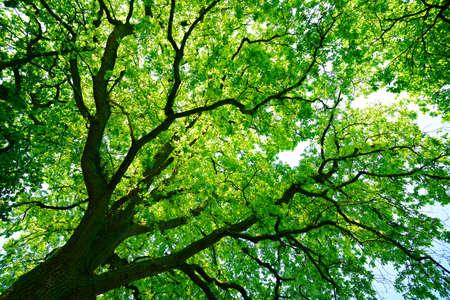 Mighty oak tree from below, low angle shot Stok Fotoğraf - 85625589