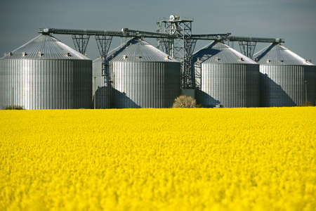 Field of rapeseed blossoming, a grain silo behind
