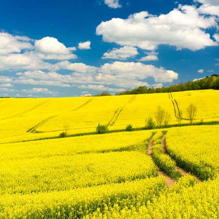 Fields of rapeseed in bloom, Spring landscape under blue sky