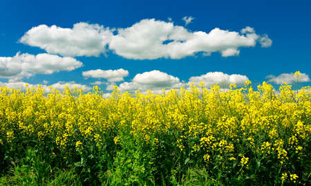 Field of oilseed rape blossoming under blue sky with clouds Stock Photo
