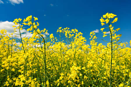 Close-up of oilseed rape blossoming under blue sky with clouds, selective focus on foreground