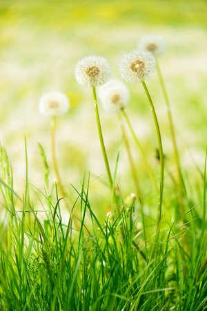 Green Meadow full of Dandelion Flowers