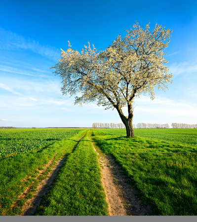 Big Cherry Tree Blooming on Farm Track Through Green Fields, Spring Landscape Under Blue Sky Фото со стока
