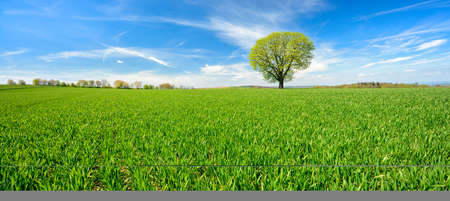 Panorama of Solitary Tree in Green Field Landscape under Blue Sky Фото со стока