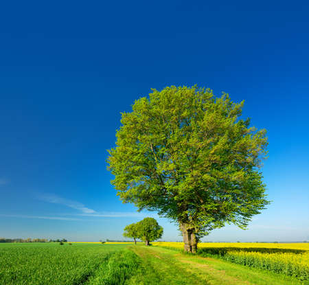 Old Linden Tree Trees Walk Along Fields Of Rapeseed And Wheat, Spring Landscape Under Blue Sky Banco de Imagens