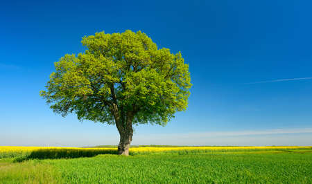 Old Linden Tree in Spring Landscape under Blue Sky, Fields of Rapeseed and Wheat Banco de Imagens