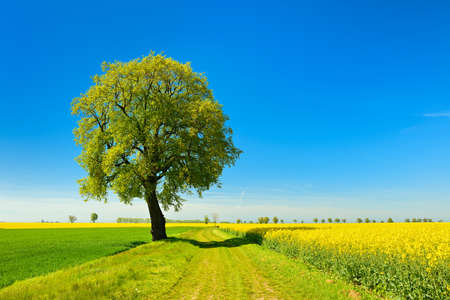 Old Linden Tree Trees Along Fields Of Rapeseed And Wheat, Spring Landscape Under Blue Sky