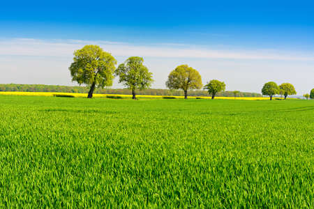 Old Linden Trees in Fields of Rapeseed and Wheat, Spring Landscape Under Blue Sky Banco de Imagens