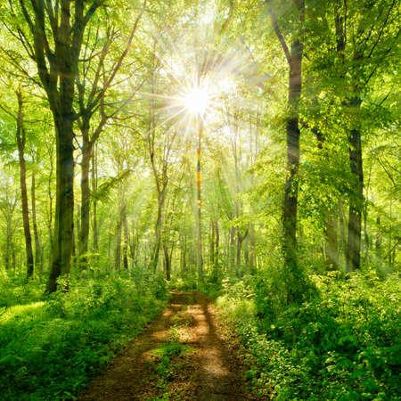 Footpath through Natural Beech Tree Forest illuminated by Sunbeams through Fog