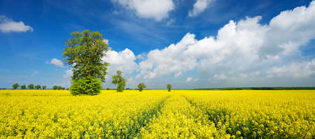 Solitary Linden Trees in Field of Rapeseed Blossoming, Blue Sky with Clouds Stock Photo