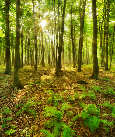 Forest of Beech Trees illuminated by sunbeams through fog, covering the ground Stock Photo