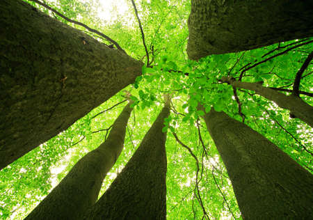 Forest of Big Beech Trees at Spring, low angle shot