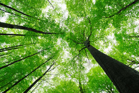 Forest of Tall Beech Trees in Spring, low angle shot Stock Photo
