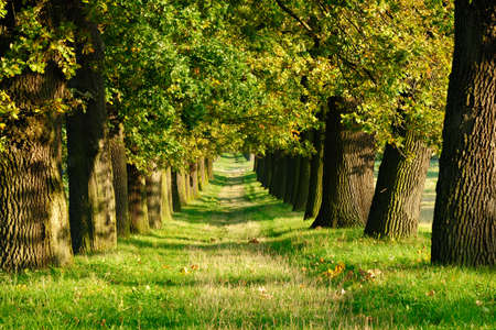 Avenue of Old Oak Trees illuminated by the Sun in Early Autumn, Grassy road Фото со стока