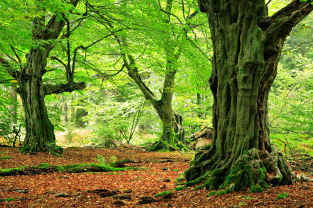 Mighty Old Hornbeam Trees at Green Forest, Moss Covered Roots Imagens