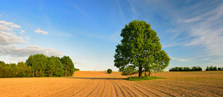 Oak tree in field with sprouts of winter seeds, landscape under blue sky with clouds Фото со стока