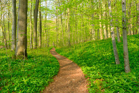 Winding Footpath through the Sunny Forest of Beech Trees at Spring, Fresh Green Leaves Stock Photo