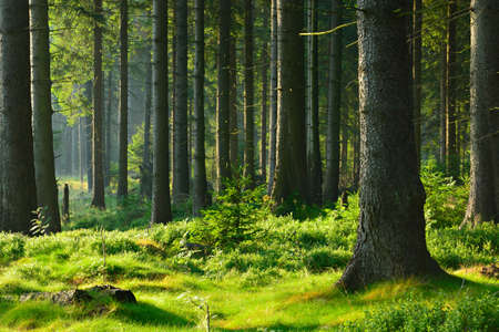Sunlit Spruce Tree Forest Stock Photo
