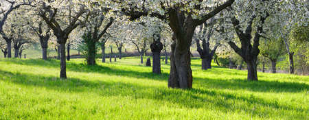 Orchard with cherry trees in full bloom