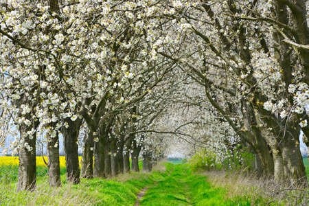 Avenue of Cherry Trees Blossoming on Farm Track through Spring Landscape Imagens